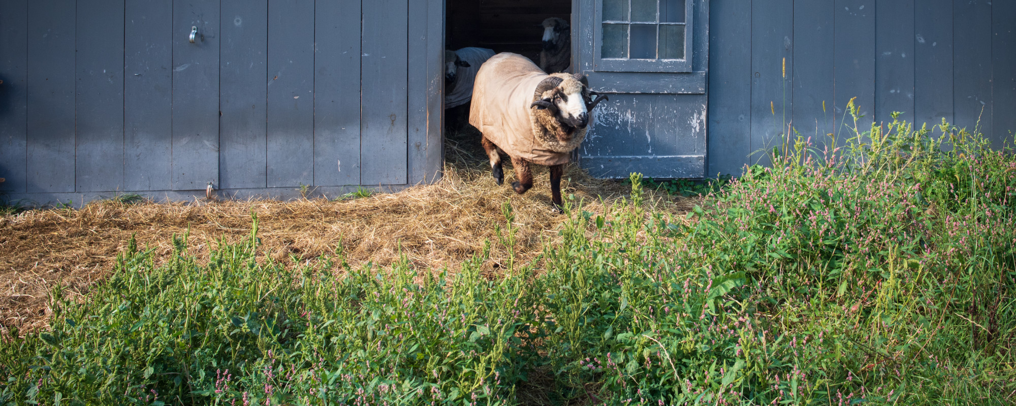 Sheep Exiting a Barn at Butterfly Farm