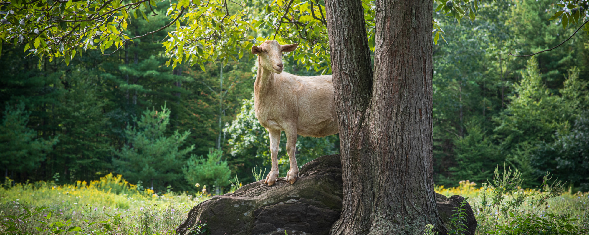 Goat on a rock at Stoneledge Farm